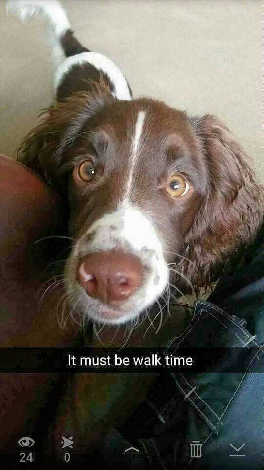 Pin By Springer Spaniels On The Best Dog Breed