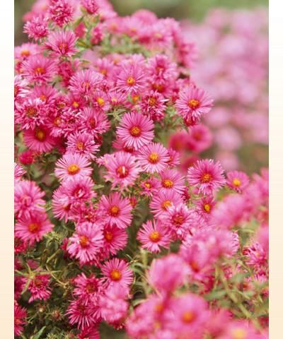 Rose Verbena Glandularia Canadensis Is A Native Plant That Thrives In Partial To Full Sun And Moderate Dry Conditions It Low Growing