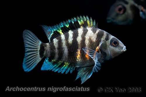 Convict Cichlid, kvinde tropiske fisk, Freshwater-8063