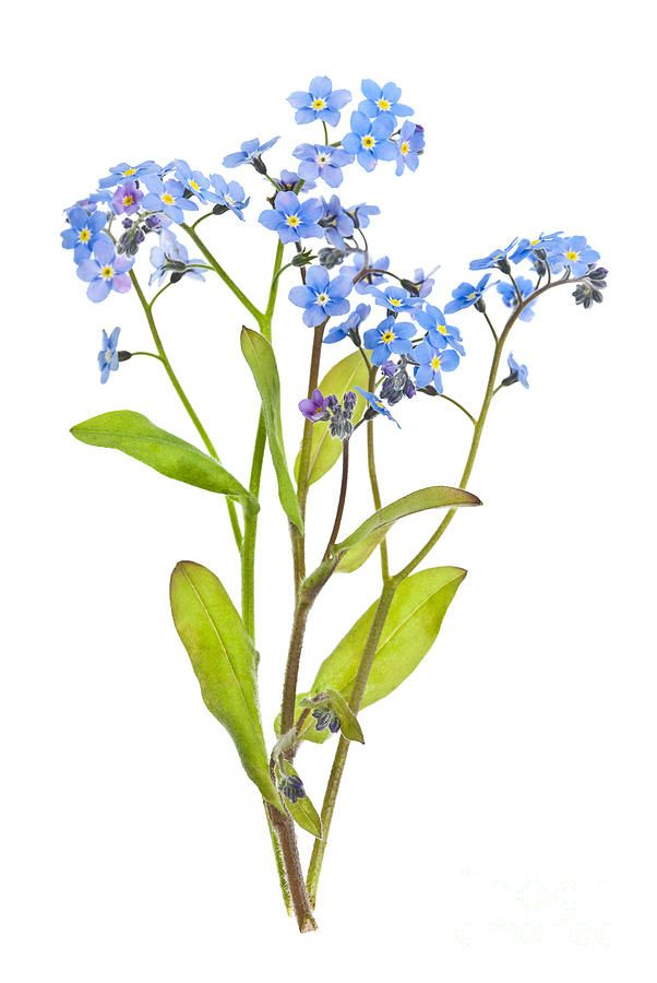 Forget me not flower drawing flower inspiration forget me not flowers on white photograph by elena elisseeva ccuart Image collections