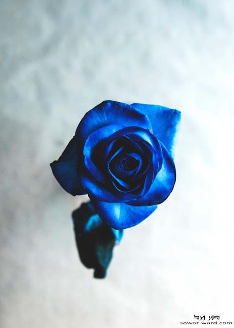 خلفيات ورود و خلفيات ورد جميل In 2021 Blue Roses Wallpaper Rose Wallpaper Blue Rose