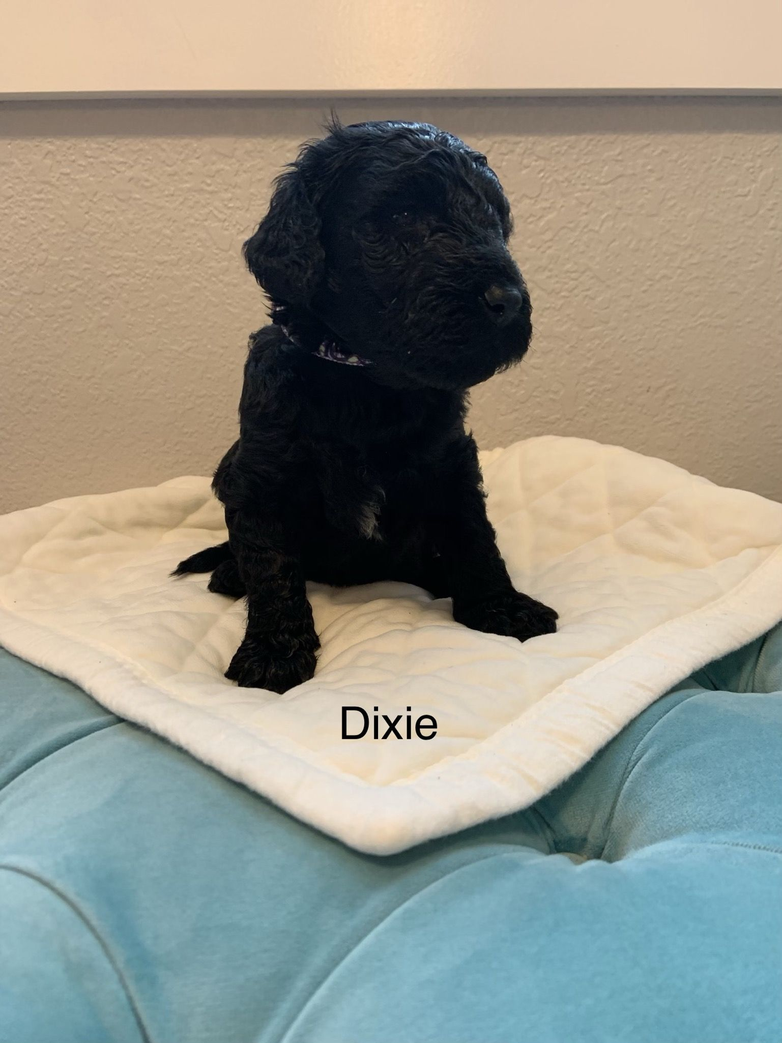 Dixie female Goldendoodle puppy for sale in Colorado.