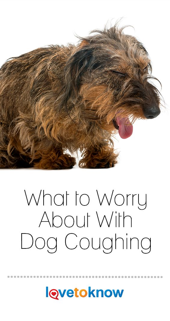 What Could It Mean if Your Dog Is Coughing? (With images