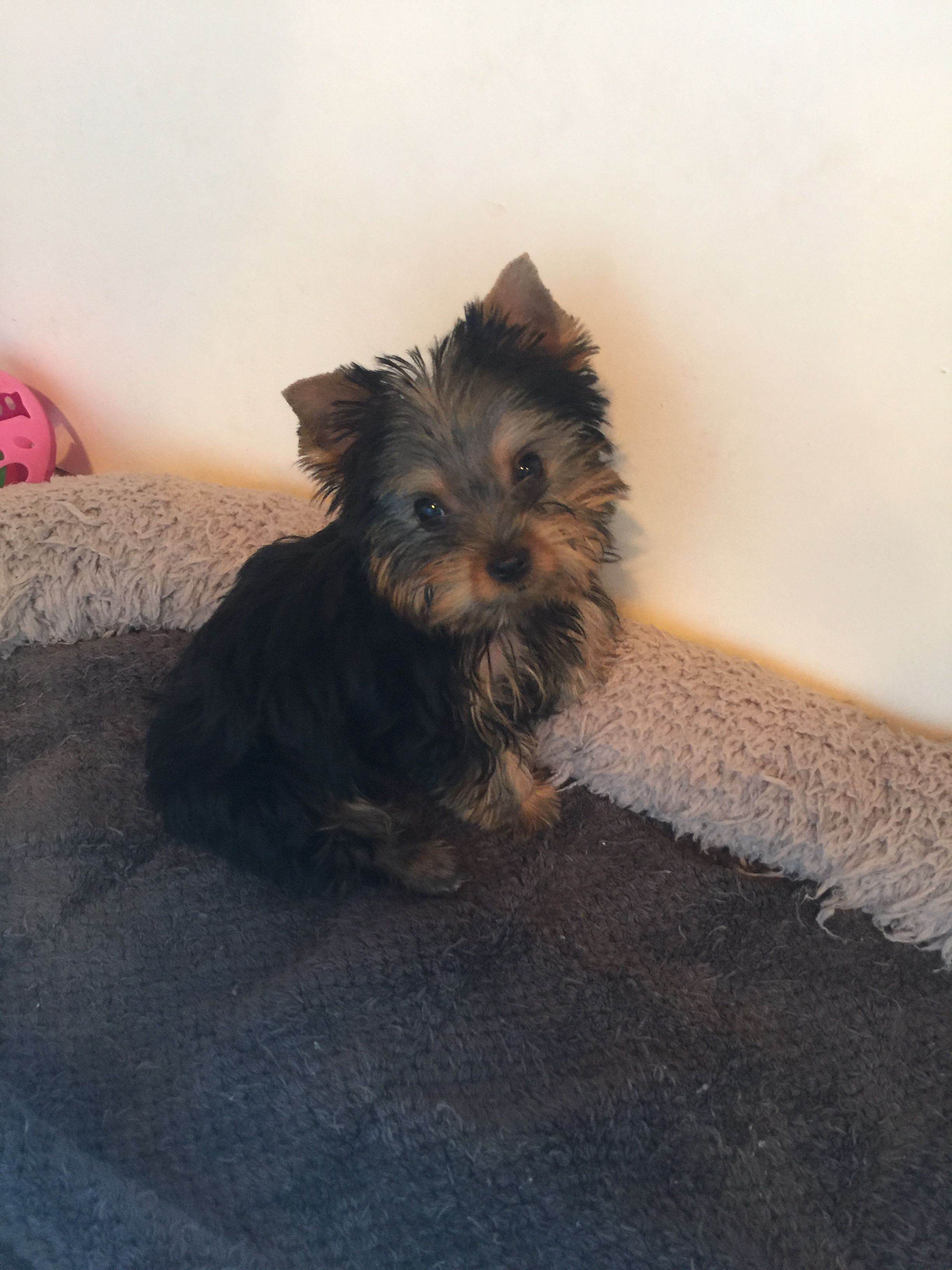 Pin By Rachel Pittman On I Love Yorkies Yorkie Pets Yorkshire Terrier