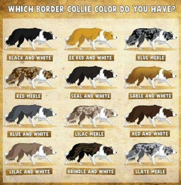 Border Collie Types Border Collie Colors Collie Dog
