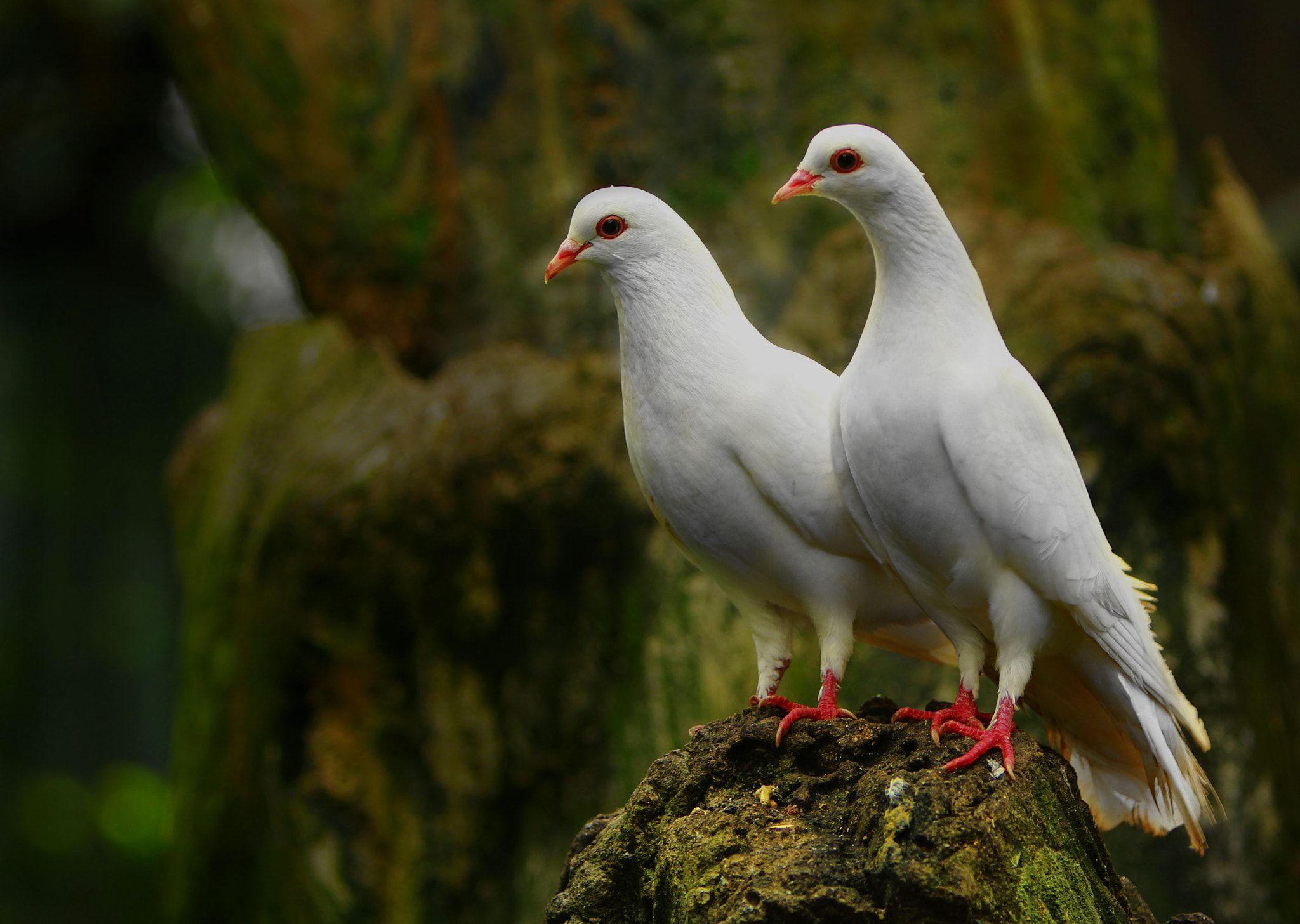 The Couple Pigeon Dove Pigeon Animals Pigeon