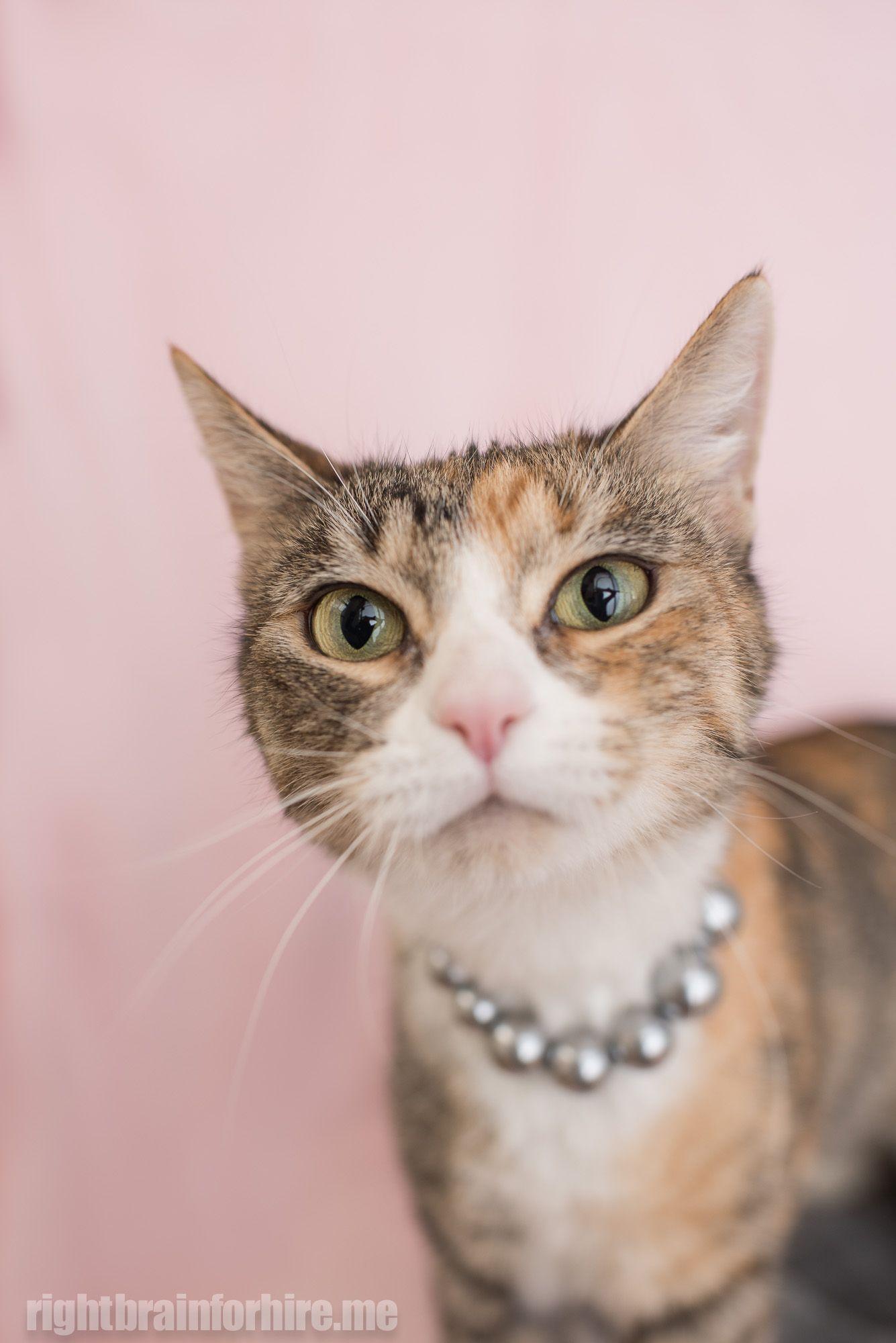 I Found This Pet On Lostfound Rspcaqld Org Au Cat Adoption Animals Pets