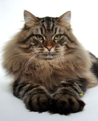 Siberian Cat Long Hair And Giant Paws Like The Big Cats So Regal