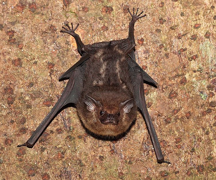 Likely Either Lesser Sac Winged Bat Saccopteryx Leptura Or Greater Sac Winged Bat Saccopteryx Bilineata Two Indiv Bat Species Cute Bat Getting Rid Of Bats