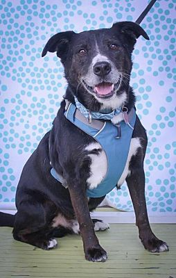 Pictures Of Ace A Border Collie For Adoption In Houston Tx Who