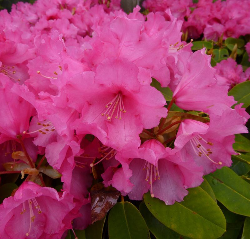 Rhododendron Karin A Very Attractive Slow Growing Rhododendron With Delicate Pink Bell Shaped Flowers Small Grower Whi Rhododendron Ornamental Plants Plants