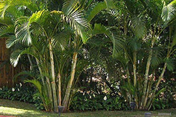 Areca Bambu Em 2020 Folhas De Plantas Bambu Jardim