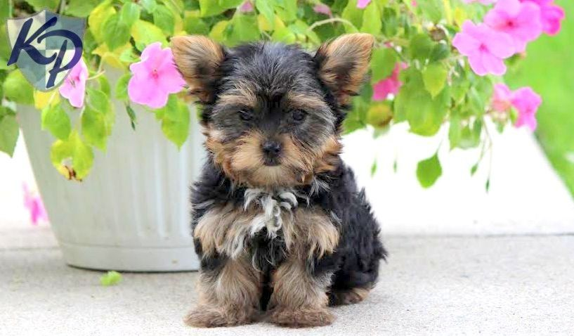 Puppy Finder Find Buy A Dog Today By Using Our Petfinder Puppies Yorkshire Terrier Puppies Puppy Finder