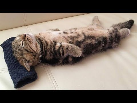 Festival Of Sleep Day 5 Cats Sleeping In Hilarious Ways Videos Munchkin Kitten Kittens Cutest Kitten Pictures