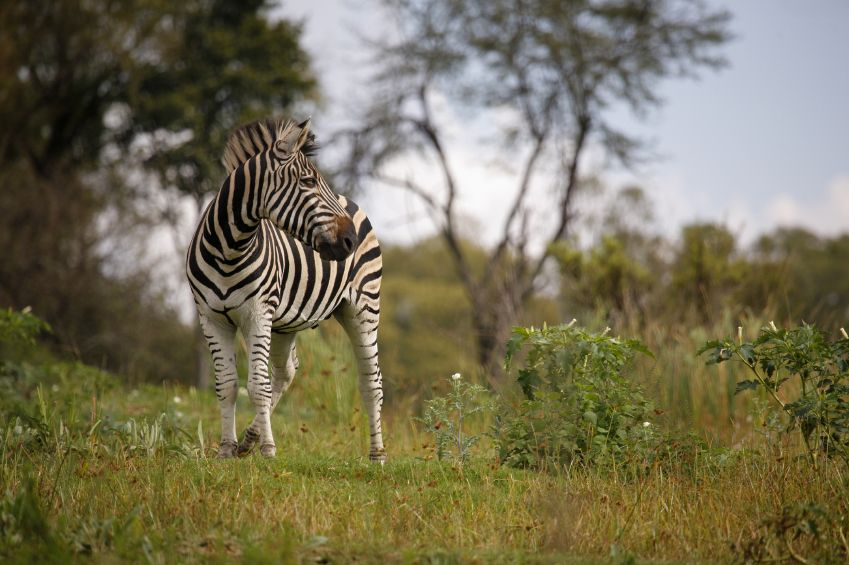 #krugerpark #wilderness #zebra
