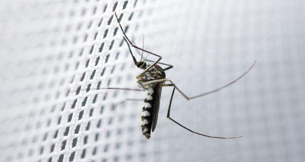 How malaria parasites kill humans malaria Mosquito