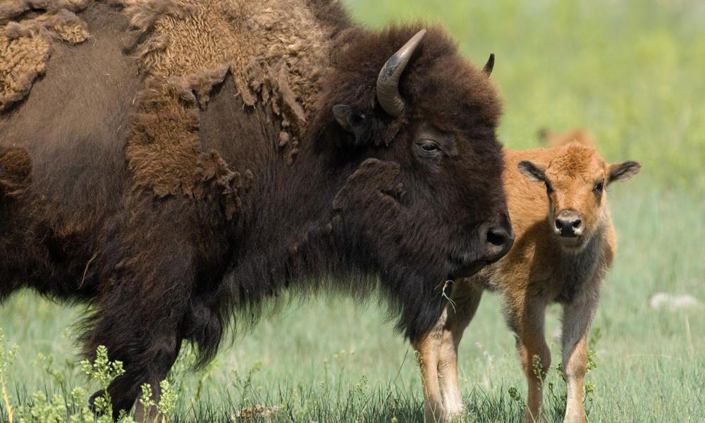 Bison Plains Bison Species WWF American bison