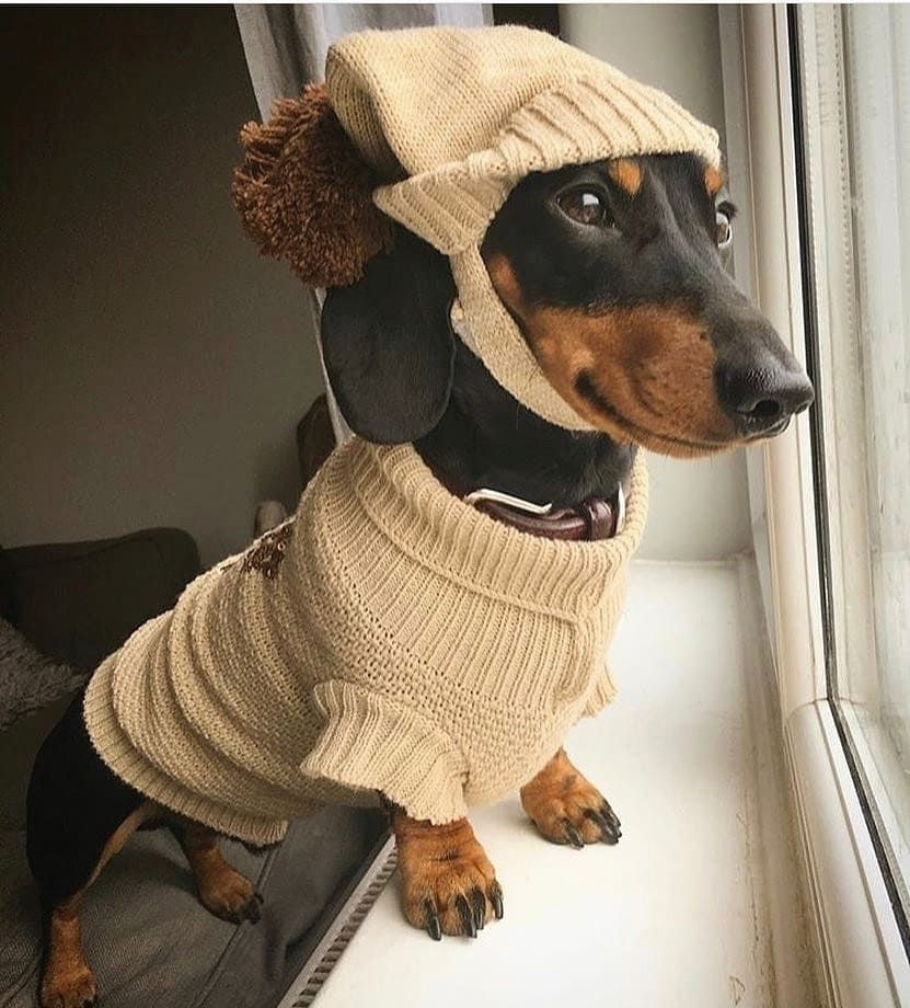 Dachshund Clothes That Actually Fit Minature Dachshund Funny Dachshund Dachshund Puppies