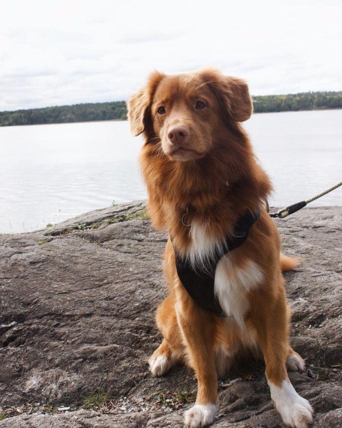 Nova Scotia Duck Tolling Retriever Hundebabys Hunde Hunde Babys