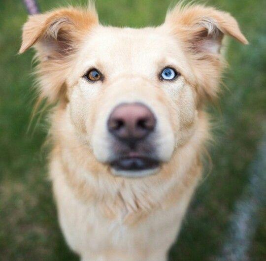 2 Different Colored Eyes Golden Retriever Husky Golden