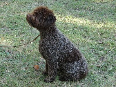 Lagotto Romagnolo Italian Water Dog Want One Lagotto Romagnolo Water Dog Italian Water