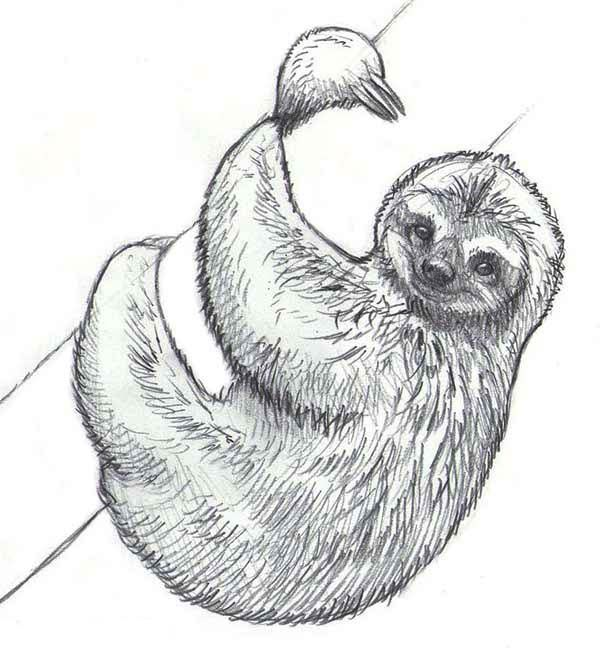 realistic drawing of sloth coloring page