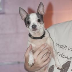 Flint-I need a home!! is an adoptable Chihuahua Dog in Harrisburg, PA. Please contact Denise ( sharpeisnchihuahuas@msn.com ) for more information about this pet. Little Flint is such asweetheart!! ...