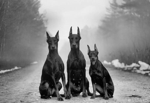 Doberman Pack Beautiful Dogs Dog Lovers Pets