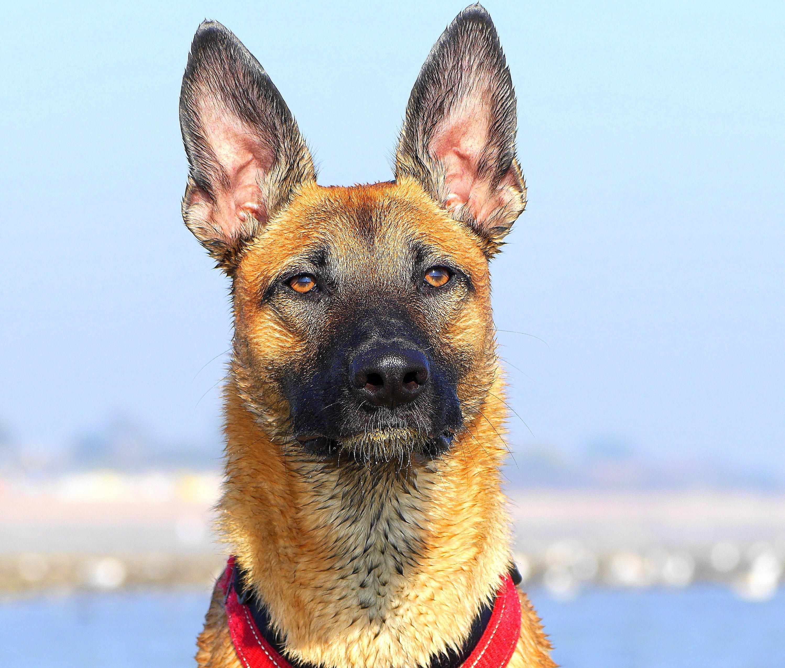 My dog Wilson has the biggest ears