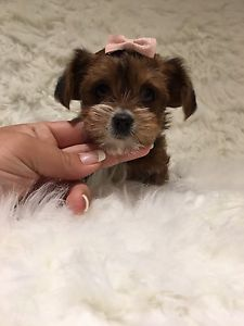 Tiny Teacup Toy Doll Faced Morkie Babies Ready Mississauga