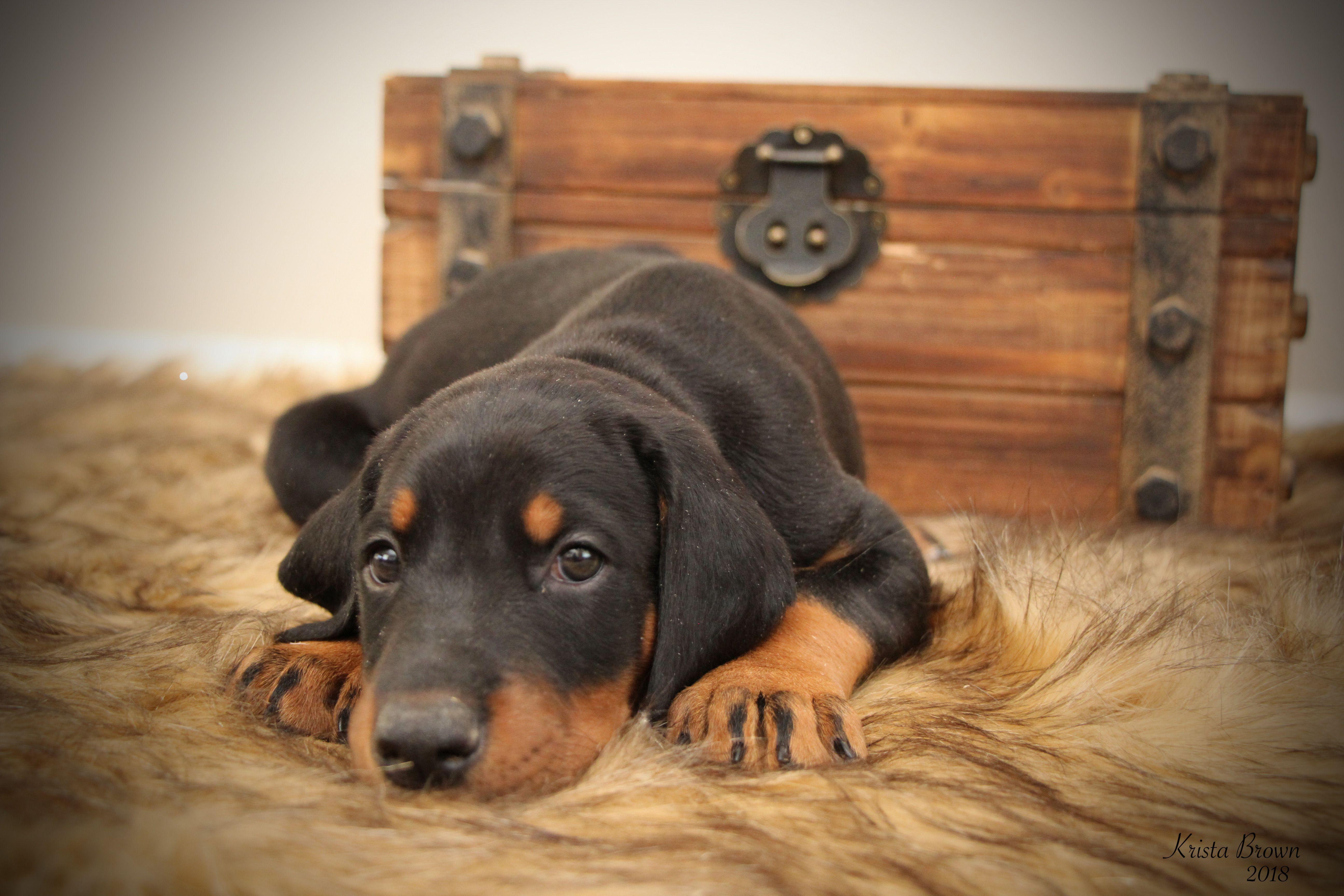 Doberman Pinscher Doberman Pinscher Puppy 6 Weeks Old Doberman
