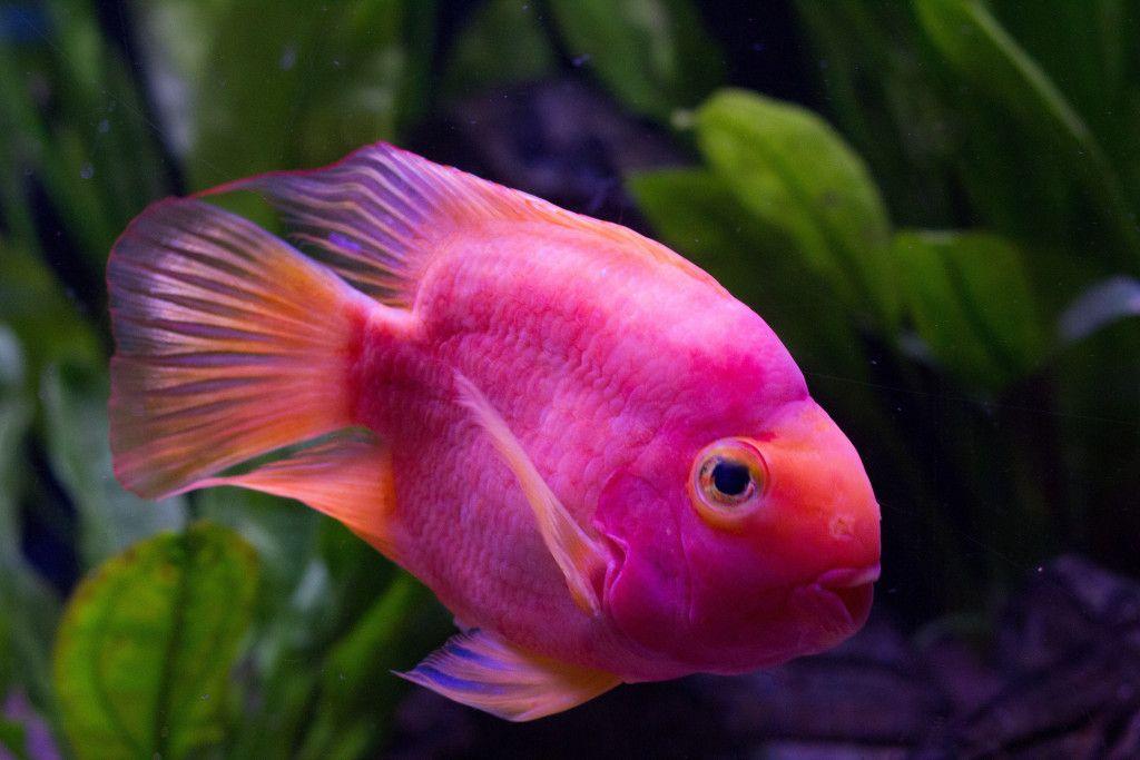 Arrière plan de poisson rose