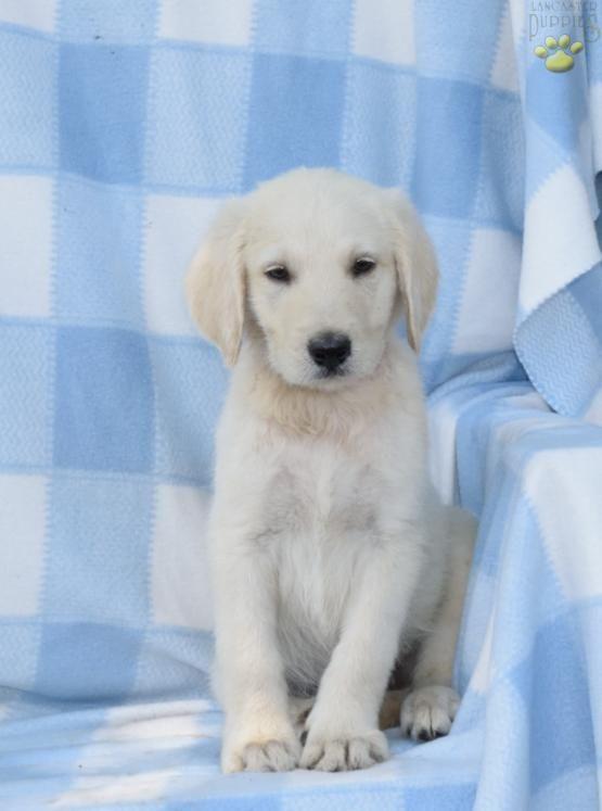 Labradoodle Poodle Labradorretriever Buckeyepuppies Puppies