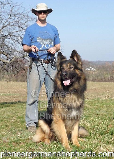 Ash A Giant German Shepherd At Age 7 Pioneershepherds Com