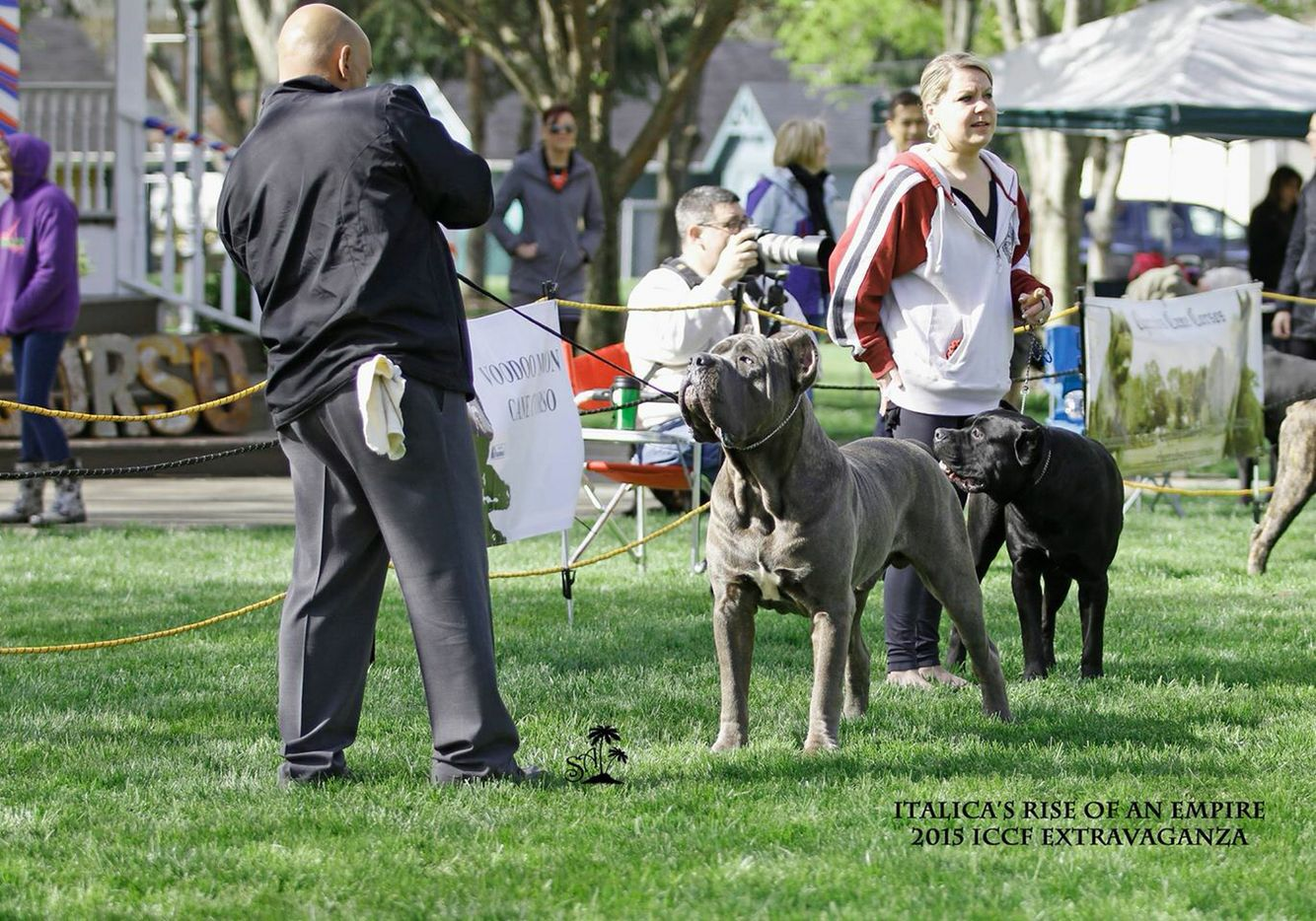 Ch Italica S Rise Of An Empire Aka Leonidas Cane Corso Blue