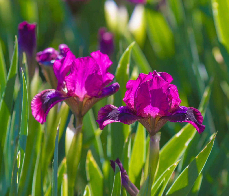 Iris Care Information On Iris Plant Care Iris Flowers Plants Rose Plant Care
