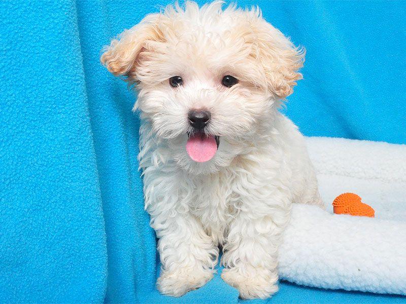 Bichon Poodle Mix Male Poodle Mix