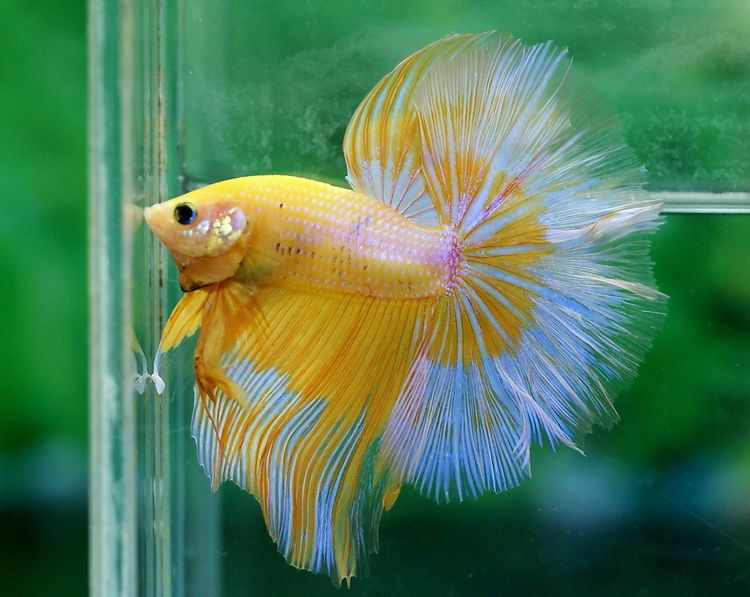 Halfmoon betta fish butterfly halfmoon betta betta fish for Buy betta fish