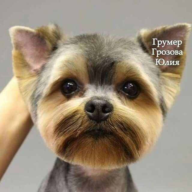 Yorkie Face Head From Homeless To Royalty Grooming Tips Cuts