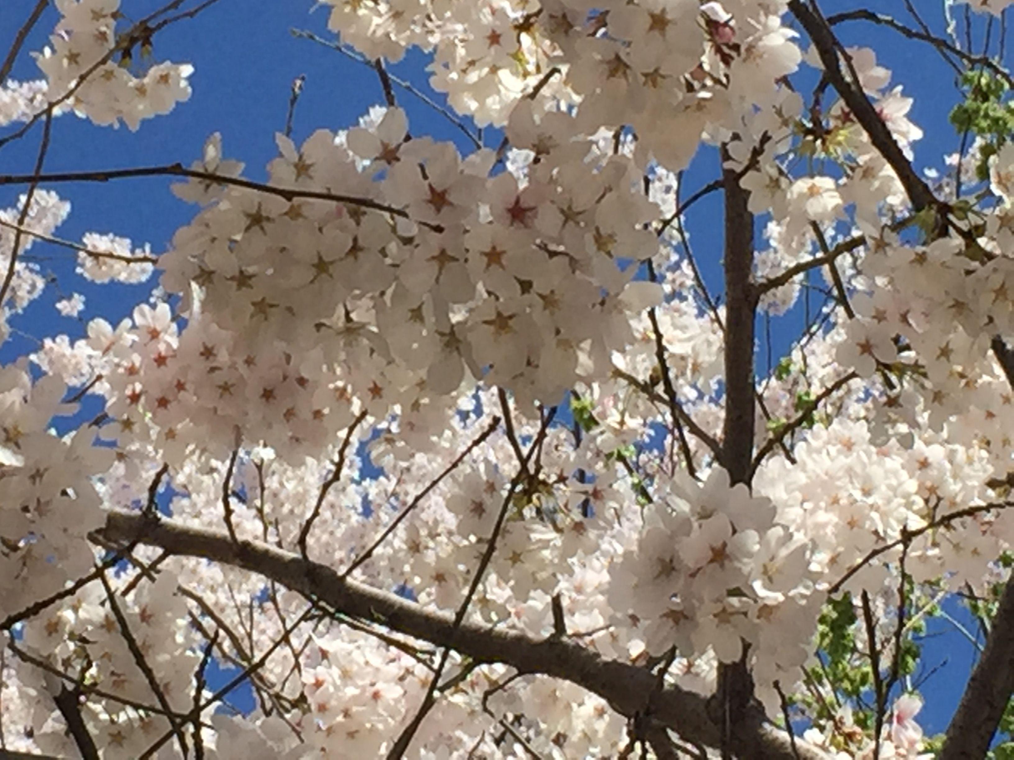 April 2015 Cherry Blossoms in Washington DC