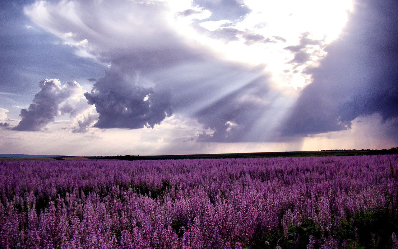 Waiting for love lavender fields of photography wallpaper