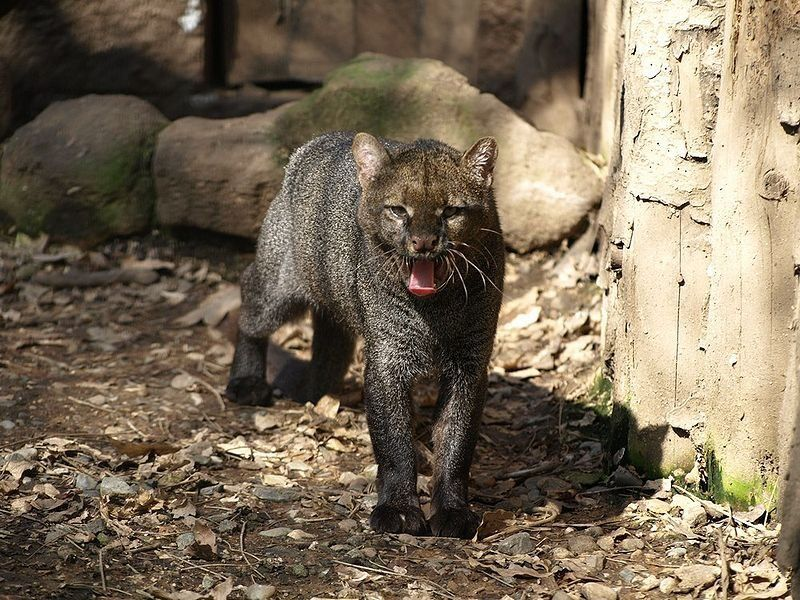 The Endangered Jaguarundi Is Coming Back To Texas Small