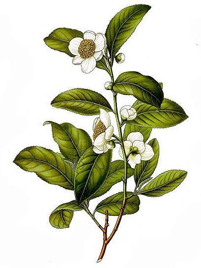 K\u00f6hler/'s Medicinal Plants illustration Wall decor. Botanical print Print on Handmade Paper Camellia thea