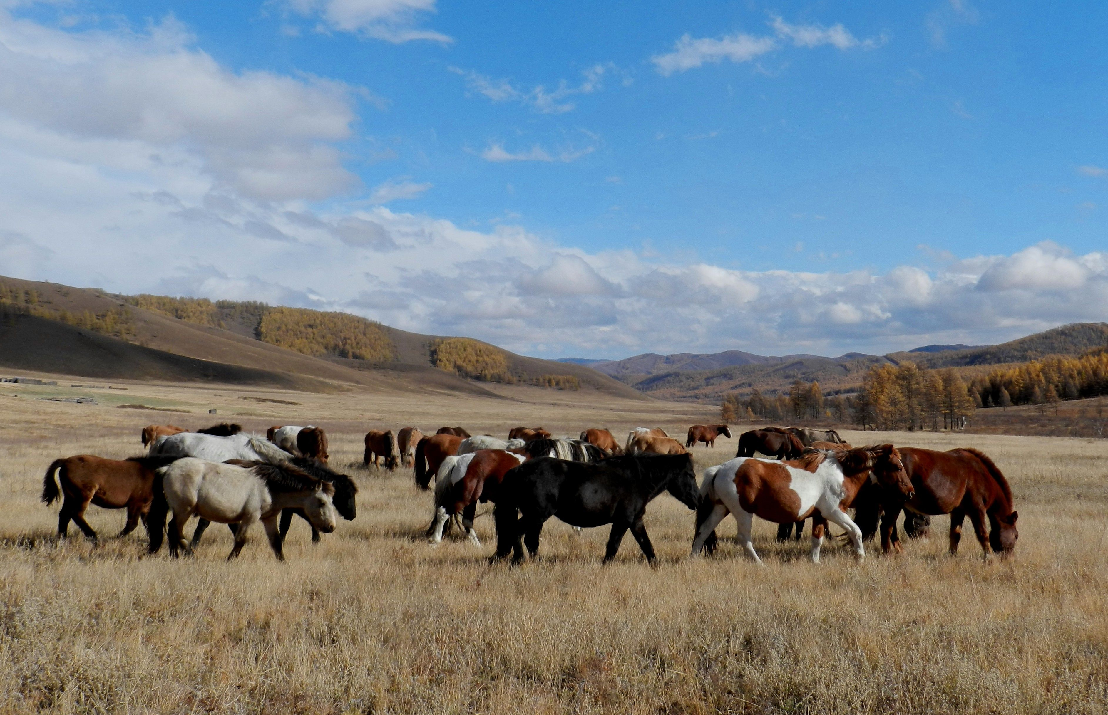 Free roaming herd of Mongolian horses grazing in autumn, gaining strength for the harsh winter. On a horse riding tour with Stone Horse Expeditions, encounters with herds of horses are common and a great sight. www.stonehorsemongolia.com
