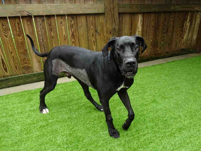 Meet MARCO, an adoptable Great Dane looking for a forever home. If you're looking for a new pet to adopt or want information on how to get involved with adoptable pets, Petfinder.com is a great resource.