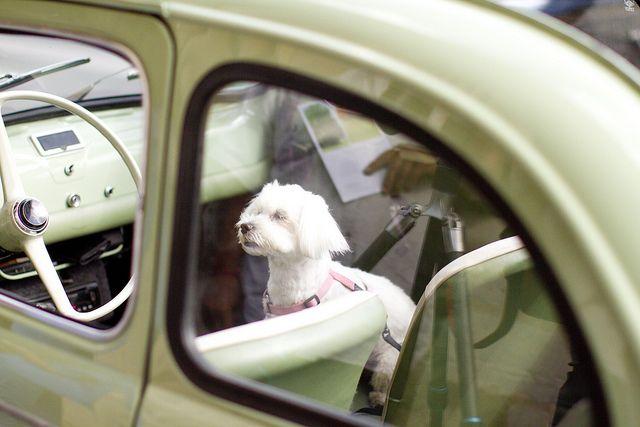 Pup in a vintage car, Paris. Photo by Haleigh Walsworth: http://makingmagique.com/paris/summer-cocktail/