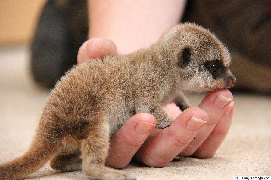 ミーアキャットの双子が この世のものと思えないほど可愛い 画像集 ハフポスト Baby Meerkat Cute Baby Animals Baby Animals
