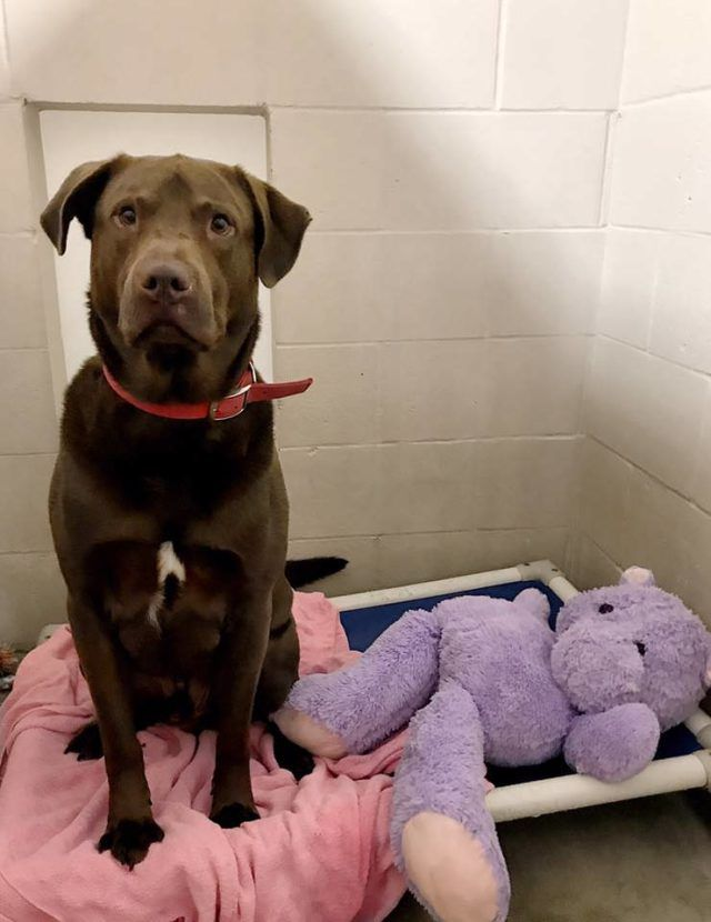 Shelter Dog Is Prime Suspect In The Case Of The Fuzzy Purple Hippo