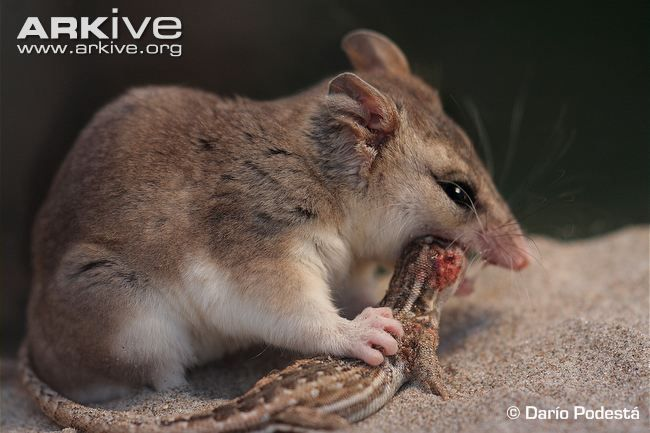 Opossums (family didelphidae) - videos, photos and facts | ARKive