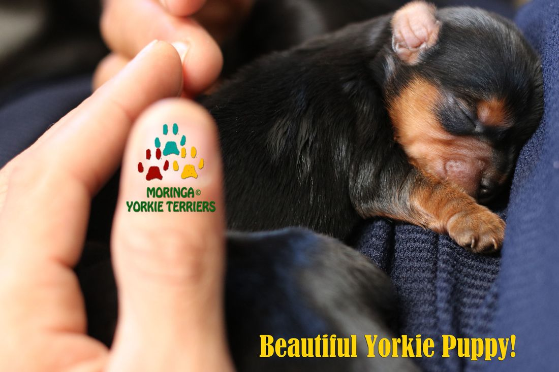 Yorkie For Sale In Southern California Yorkie Puppies For Sale Healthy Yorkshire Terriers Yorkie Shampoo Yorkie Puppy For Sale Yorkie Puppy Puppies For Sale